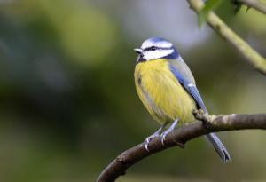 Blue tit at Fletcher Moss, Didsbury