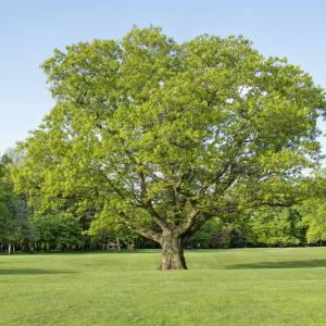Longford Park Red Oak