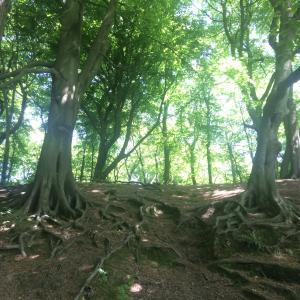 Beech trees in Worsley Woods
